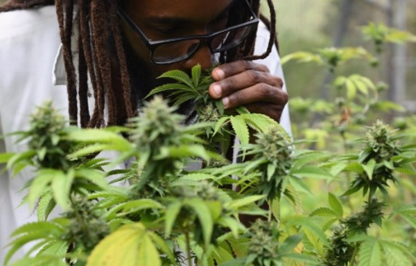 Can Weed Explain Fewer Cases In Jamaica?